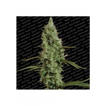 Atomical Haze - Paradise Seeds
