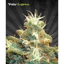 Polar Express – Auto Seeds