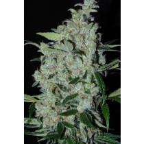 Purple Mexican – Cannabiogen