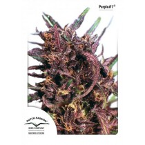 Purple #1 - Dutch Passion