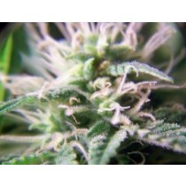 Purple Maroc – Female Seeds