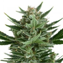 Quick One Auto – Royal Queen