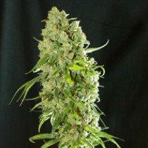Dieseltonic – Resin Seeds