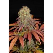 Rock Bud – Soma Seeds