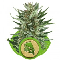 Royal Cheese Auto – Royal Queen