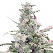 Royal Creamatic Auto – Royal Queen