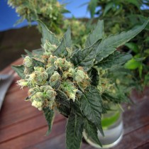 Sage n' Sour – T.H. Seeds