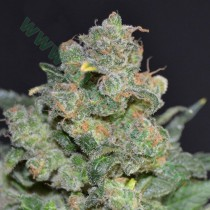 Cheese – CBD Seeds