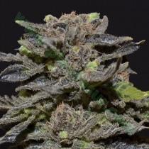 Magma – CBD Seeds