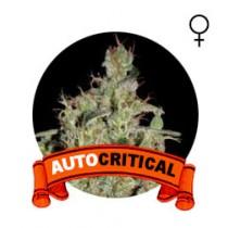 comprar semillas marihuana auto critical