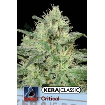 Critical Jack – Kera Seeds