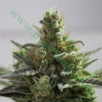 B-Cheese – Vulkania Seeds