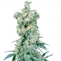 American Dream Reg. Sensi Seeds