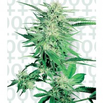Big Bud Fem. Sensi Seeds