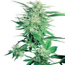 Big Bud Reg. Sensi Seeds