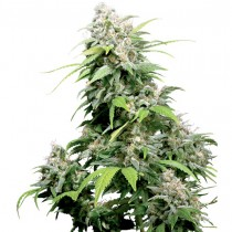 California Indica Reg. Sensi Seeds
