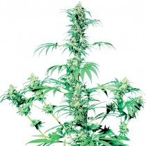 Early Girl Reg. Sensi Seeds