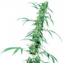 Fruity Juice Reg. Sensi Seeds