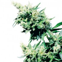 Hash Plant Reg. Sensi Seeds