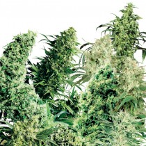 Indor Mix Reg. Sensi Seeds