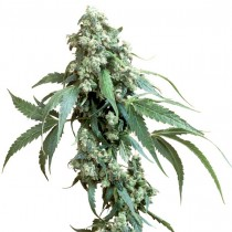 Jack Flash Reg. Sensi Seeds
