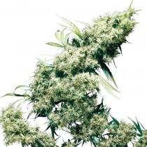 Jamaican Pearl Reg. Sensi Seeds