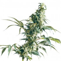 Mexican Sativa Reg. Sensi Seeds