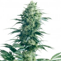 Mother Finest Reg. Sensi Seeds