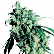 Super Skunk Sensi Seeds regulares