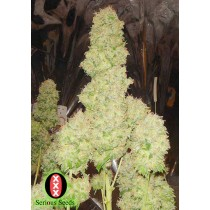 White Russian Femenina - Serious Seeds