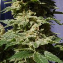 Original Berry – Kannabia Seeds