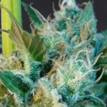 Gnomo Auto – Kannabia Seeds