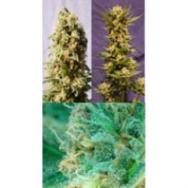 Guerilla Mix – Kannabia Seeds