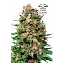 Skunk -1 Regular – Dutch Passion