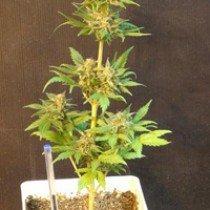Flash Auto – Kannabia Seeds