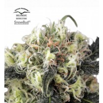 Snowbud – Dutch Passion