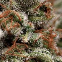 Auto Galaxy – Pyramid Seeds