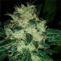 Sour P – Resin Seeds