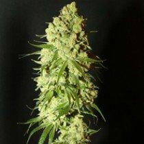 Cannatonic – Resin Seeds