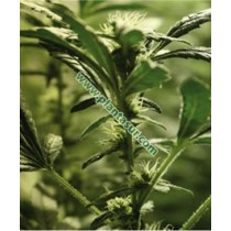 Hash Plant – Vulkania Seeds
