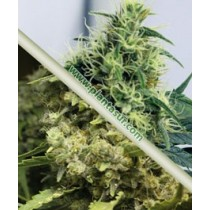Indica Pack (2+2) – Vulkania Seeds