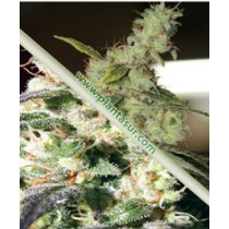 White Line Pack (2+2) – Vulkania Seeds