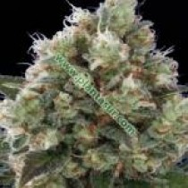 Northern City Haze – Vulkania Seeds