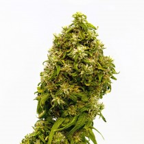comprar semillas swiss dream cbd de kannabia seeds