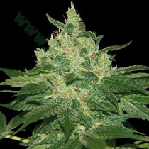 Afgan Kush Regular - World Of Seeds