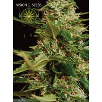 Super Skunk Auto – Vision Seeds