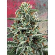 White Widow – Ministry Seeds