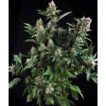 Auto White Widow – Pyramid Seeds