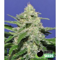 Widow Bomb – Bomb Seeds