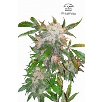 White Widow – Dutch Passion